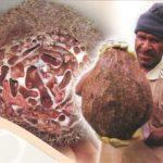 Sarang Semut Khas Papua Disebut Mampu Sembuhkan Kanker