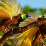 Makna Burung Surga dari Tanah Arfak, Papua Barat
