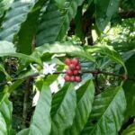 Kopi di Lembah Grime: Dari Jember, Tumbuh di Papua